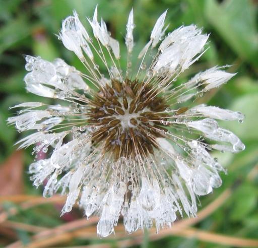 Frozen dandelion by keagiles