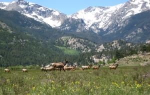 RMNP elk