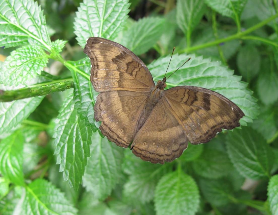 Mmmmm chocolate keapod 37 keaneato - Brown butterfly meaning money ...