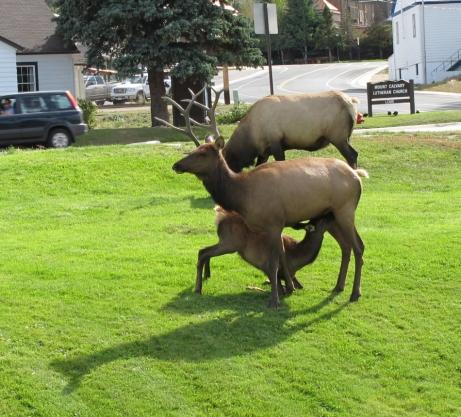 Elk in Estes