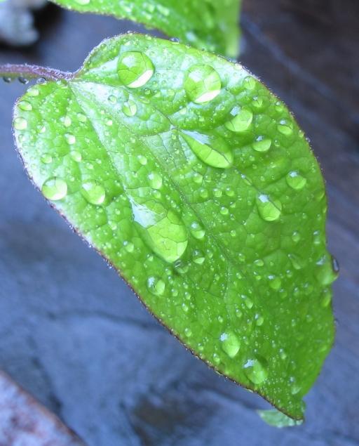 magni-leaf