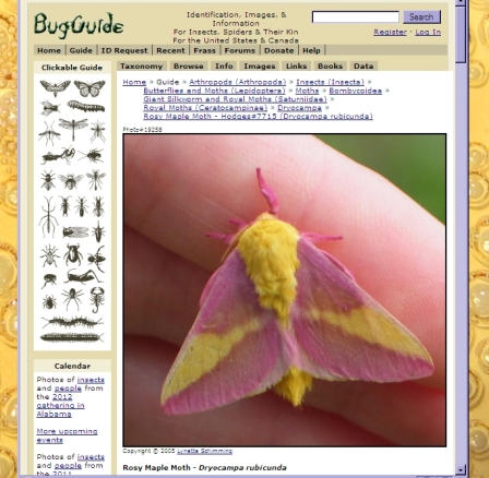 rosy maple moth by Lynette Schimming