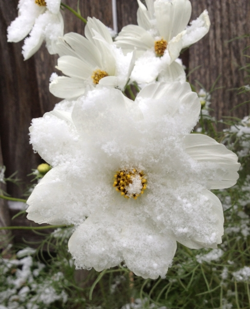 Cosmos Flower with Snow
