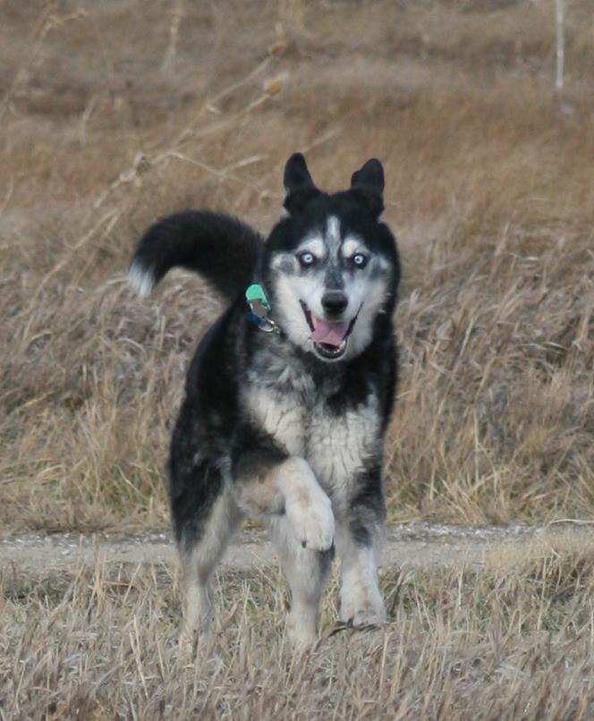 Blue Aroo dog