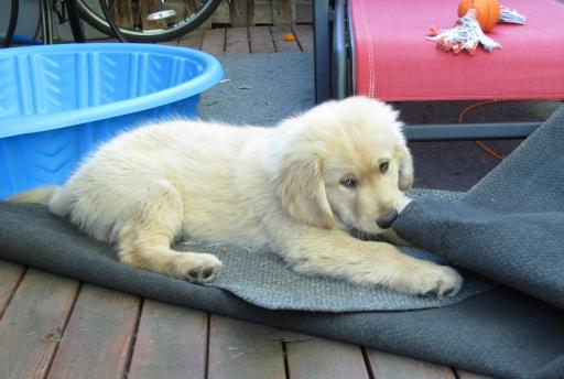 puppy Gem