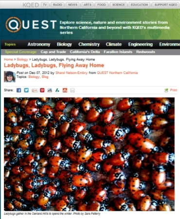 "Screen shot from the KQED Quest blog. This neato post, ""Ladybugs, Ladybugs, Fly Away Home,"" includes an awesome photo of dozens of ladybugs in California."