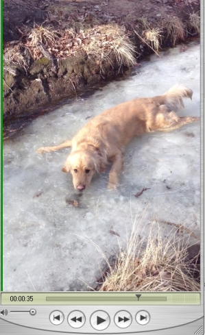 Gem enjoying the icy cold waters today - beautiful water running over the top of the ice.