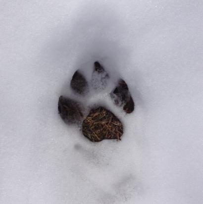 Gem's pawprint