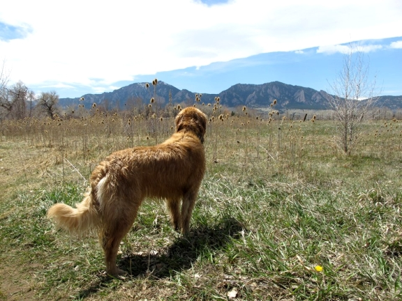 Gem,  South Boulder Creek, Boulder Flatirons, Golden Retriever