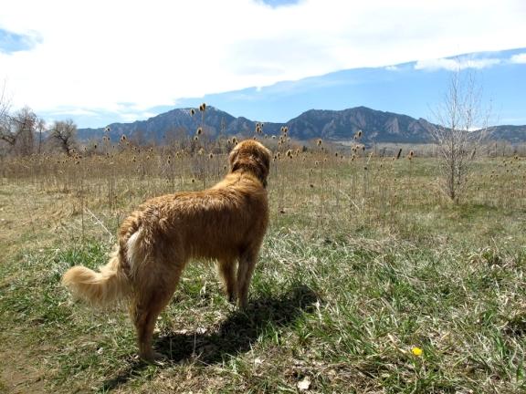 Gem,  South Boulder Creek, Boulder Flatirons, Golden Retriever