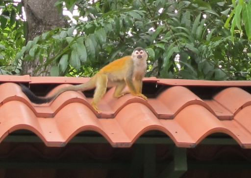 No, those are not extra large tiles; that is a tiny Capuchin/white-faced monkey in Manuel Antonio, Costa Rica. Photo by Kea Giles.