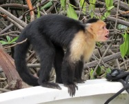 This guy jumped on our boat, grabbed a piece of fruit, and jumped back onto the mangrove tree. Photo by keagiles.