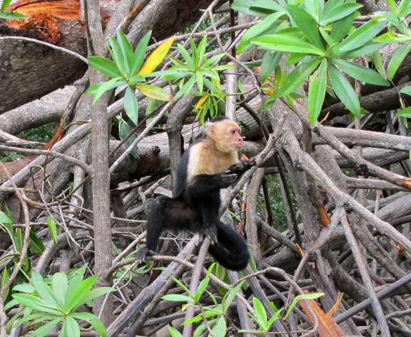 Capuchin (white-faced) monkey among the mangroves near Isla Las Damas, Costa Rica. Photo by keagiles.