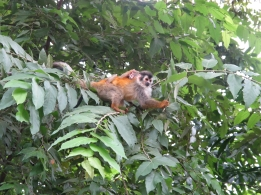 Squirrel monkeys - mama and baby - near Manuel Antonio National Park, Costa Rica. Photo by keagiles.