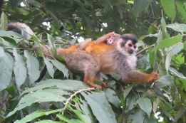 A closer view of the mama and baby squirrel monkeys. Photo by keagiles.