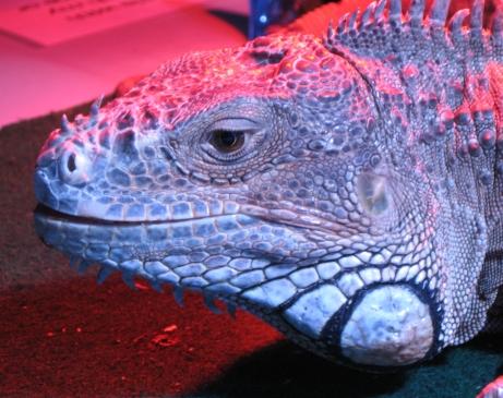 Beautiful wrinkles. Iguana portrait by keagiles.
