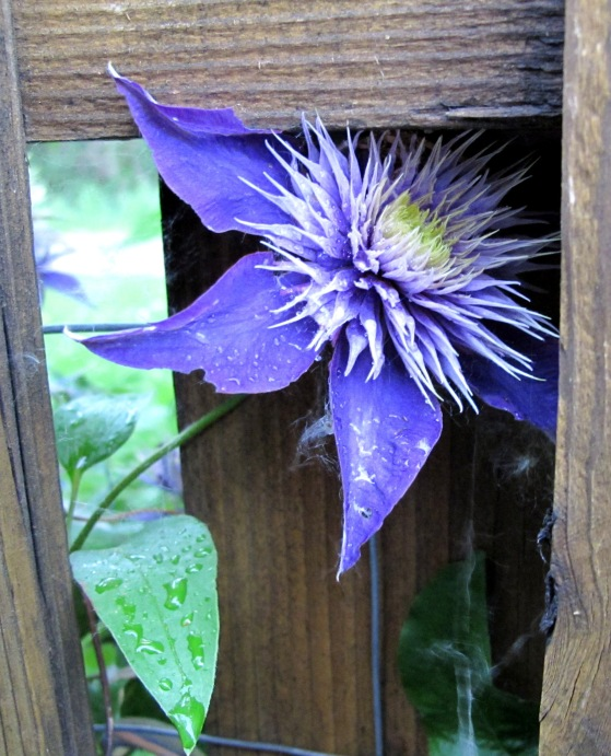 Purple clematis flower after the rain. Photo by keagiles.