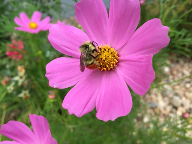 This beautiful little bumble bee caught my attention as it gathered pollen on this cosmos flower. Photo copyright keagiles.